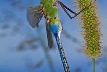 Dragon Flies & Damsel Flies