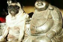 Buddha pugs