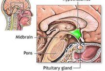 Human homeostasis / anathomy, Enodcrine system, hypothalamus,