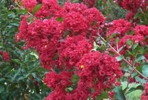 Flowering Trees & Shrubs / We have a large offering of flowering trees and large shrubs at Treeland. Checkout the images below and click on the images to learn more about them and to see additional images. All are approved for North Texas.