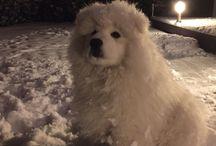 Samoyeds / J'adore mon chien :)