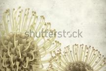 I Love Protea