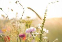 Mezei virágok / erdők, rétek, vadvirágok