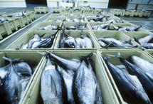 bac poisson criée