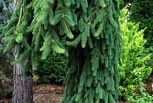 Weeping conifers