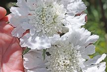 Plants I need: White / White flowers and plants
