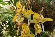 orhidee Stanhopea si nu numai