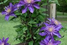 Creative Clematis / Growing ideas for Clematis flowers