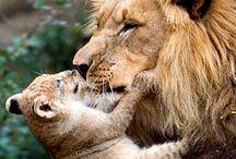 Ꭱєgαℓ Fєℓiηєs & Ꮯo. / Colui che ha visto il leone ruggire non corre allo stesso modo di chi lo ha soltanto sentito.  Proverbio africano
