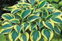 Hosta-holic / by Lawncare Plus Design~Landscaping Hardscaping Gardening