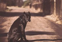 Cane Corso on the road