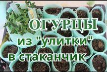 Огурцы / Огурцы