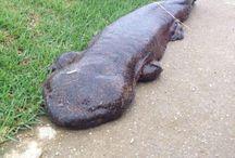 Salamandere/dyr