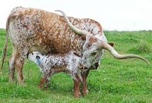 Breeds Cattle