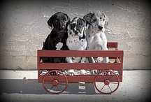 Great Danes / by Susan Barnhouse
