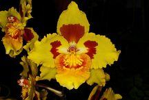 sárga Odontoglossum és Oncidium hibridek