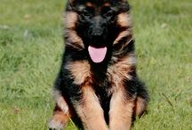 German Shepards / by Shannon Wolfley