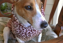 Shiloh.....the jack russell! / Our jack russell
