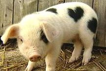 "Animals - Baby Piglets ""So Fun"" / by Stacy Ludden"
