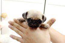 Puppy ( my future pet )