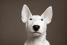 Bull-terriers
