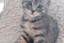 Lixou  chat européen / Chat