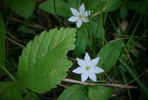 Finnish Wild Flowers