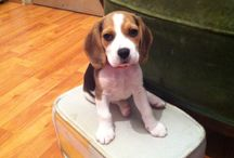Freya, my love / My beagle puppy's all I ever wanted