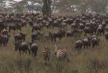 Film: Jambo Safari i Serengeti, Tanzania / Jambo Tours erbjuder safari på riktigt. Safari i små grupper med riktiga safarijeepar. Vi gillar att komma nära det vilda djurlivet men vi vill inte störa.