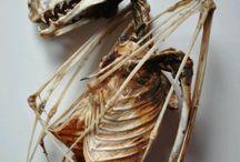 Anatomia nietoperzy / Bats Anatomy