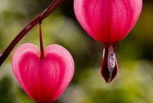 ดอกหัวใจ