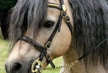 Welsh Ponies Section A & B / All things Welsh Pony