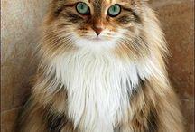 gato d