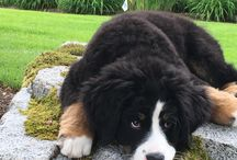 Bernese mountain dog♡♡