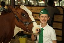 Livestock/Fur & Feathers / Cows, pigs, sheep and rabbits - oh my! Enjoy a variety of animals each year at The Big Fresno Fair!
