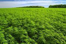 I love Growing Marijuana Outdoors