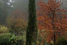 Sequoiadendron gig.-Óriás v. hegyi mamutfenyő
