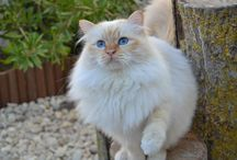 Hellig Birma <3 (Sacred Birman) and other beautiful cats