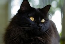 Black cats forever / In deep Loving Memory of my Merlin,Basil and Willow .... and for my familiars yet to come xxx )O(