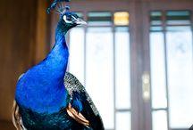 Pawie / Peacocks / Królewskie ptaki. Piękno i elegancja w ogrodzie Rezydencja Luxury Hotel****. / King's birds. Beauty and elegance in our garden.