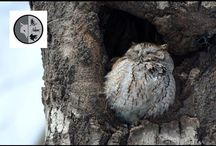 Owls / Films on owls of Eastern North America. Join Films Nature web TV on Youtube to see web series on wildlife.