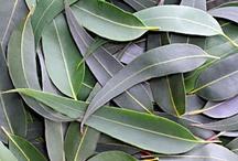 Eucalyptus Oil Uses