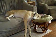 Greyhound Silliness