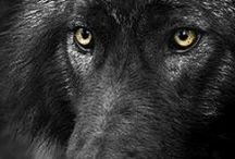 wolf......