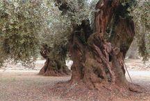 Árboles centenarios / árboles centenarios