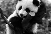 Pandamania / The cute and the fuzzy