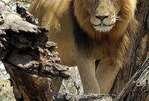 Lions :)