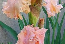 Iris delicate and beautiful