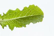 Lettuce / by Chicago Botanic Garden