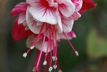 Flowers | F u c h s i a / A collection of wonderful Fuchsias! One of my favorite flowers.